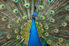 Colors of the peacock. Male peacock showing its nice colorful feathers Stock Photography
