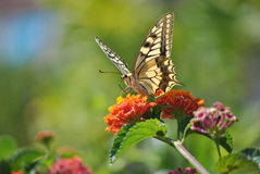 Colors of Sardinia - Papilio machaon Royalty Free Stock Photos