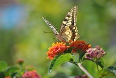 Colors of Sardinia - Papilio machaon royalty free stock photos