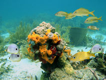 Colors of sealife. Scuba diving in the Caribbean sea with colorful sealife royalty free stock image