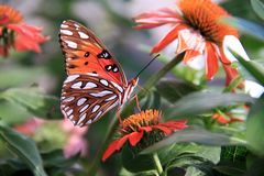 The colors and shapes of butterflies and flowers. A gorgeous Gulf Fritillary Butterfly feeding from a colorful orange flower Royalty Free Stock Photos