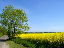 Colors of Spring. Yellow rape seed field Royalty Free Stock Photography