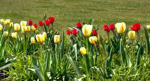 Colors of spring. Tulips on a spring meadow stock photography