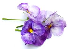 Colors of Spring - Pansies stock images