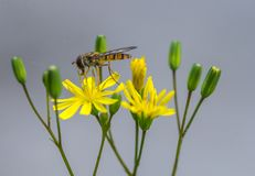Hoverfly insects alone on a yellow flower close up. royalty free stock photography