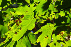 Colors of the start of Autumn. The colors of the start of Autumn as seen on maple tree leaves Stock Images