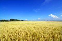 Colors of summer. View of a wide field of wheat Stock Photo