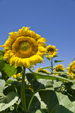 Colors of the summer- beautiful sunflowers Royalty Free Stock Photo