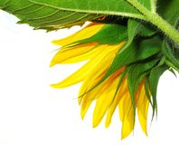 Colors of a sunflower Stock Photos