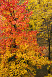Colors of tree and leaves in autumn. The beautiful colors of the leaves of a tree in autumn Royalty Free Stock Images