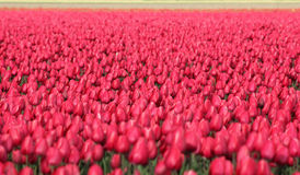 Colors and tulips. Field of red tulips, netherland Stock Photography