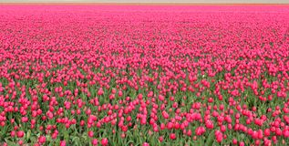 Colors and tulips. Field of red tulips, netherland Royalty Free Stock Photo