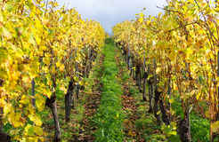 Colors of the Vineyard in autumn. Many Colors of the Vineyard in autumn Stock Photos