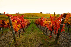Colors of Wineyards in Tuscany, Chianti, Italy. Wineyards in Tuscany, vinegrapes, and leaves vine. Chianti region, in Tuscany, Italy stock images