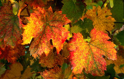 Colors of Wineyards in Tuscany, Chianti, Italy. Wineyards in Tuscany, vinegrapes, and leaves vine. Chianti region, in Tuscany, Italy royalty free stock images