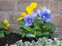 Bright colored Viola or Pansy flowers royalty free stock photo
