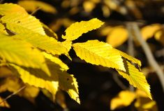 Coloruful autumn leaves yellow Royalty Free Stock Photos