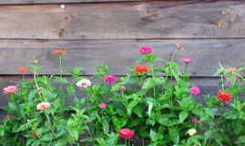 A Colorul Array of Summer Zinnias . Summer zinnias climbing a rustic weathered wooden wall Stock Photography