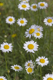 Colorul Daisies Royalty Free Stock Photos