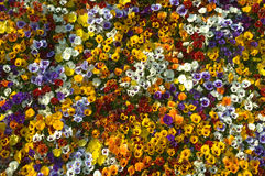 Colorul Flower Display Royalty Free Stock Photography