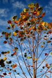 Colorul leaves. Branches against a blue sky Stock Photography
