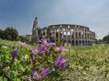 Colosseo i Rome med rosa färger blommar i förgrunden Royaltyfri Fotografi