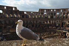 Colosseum, bird, beak, water, seabird. Colosseum is bird, seabird and charadriiformes. That marvel has beak, sky and city and that beauty contains water, gull stock photos