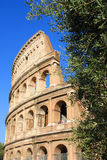 Colosseum and olive tree Royalty Free Stock Photos