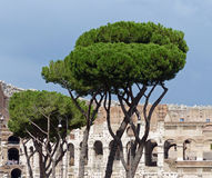 The Colosseum in Rome. The distinctive shape of the trees forms a contrast to the ancient stones beyond Stock Images