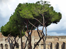 The Colosseum in Rome. The distinctive shape of the trees forms a contrast to the ancient stones beyond Royalty Free Stock Photos