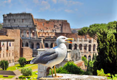 Colosseum Rome, Italy. Picture with seagull and Colosseum in Rome, Italy Royalty Free Stock Photography