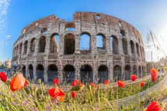 Colosseum with spring flowers in Rome, Italy Royalty Free Stock Image