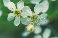 Colotize körsbärsröd blomma i den oskarpa bakgrunden Fotografering för Bildbyråer