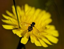 Colouful visitor. Small wasp on dandelion flower, Bezanton way woods, Colwood, British columbia, Canada Stock Photography