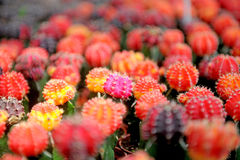 Colour cactuses. Beautiful of colour cactuses in garden Royalty Free Stock Image