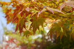 Colour changing maple tree Royalty Free Stock Photography