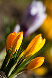 Colour Crocuses field. Floral background. Crocuses in spring day royalty free stock photography