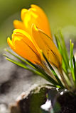 Colour Crocuses field. Floral background Royalty Free Stock Photos
