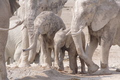 Colour elephants. Colour photo of a family of African elephants Royalty Free Stock Photos
