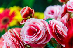 Colour explosion. Close up of pink rose flower in garden Stock Image