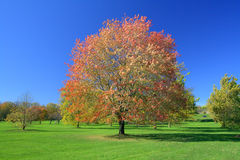 Red maple in autumn colours stock photo