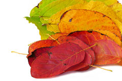 Colour fan from autumn leaves, isolated on white background, clo Stock Image