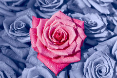 The Colour of Flowers. A beautiful pink rose amongst a lovely collection of blue roses Royalty Free Stock Photography