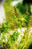Colour folująca tulsi roślina Obraz Royalty Free