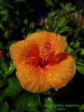 Colour folujący Chaba kwiat Zdjęcia Stock