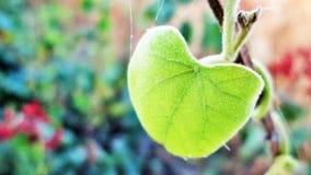 Colour fotografia świeży zielony liść Obraz Stock