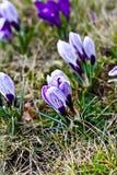 Colour krokusów pole szczegółowy rysunek kwiecisty pochodzenie wektora Zdjęcie Stock
