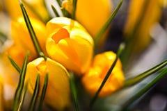 Colour krokusów pole szczegółowy rysunek kwiecisty pochodzenie wektora Fotografia Stock