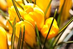 Colour krokusów pole szczegółowy rysunek kwiecisty pochodzenie wektora Obrazy Royalty Free