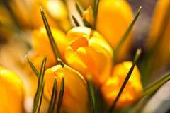 Colour krokusów pole szczegółowy rysunek kwiecisty pochodzenie wektora Obraz Royalty Free